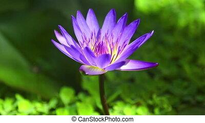 воды, цветок, лили