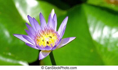 воды, wasps, цветок, лили