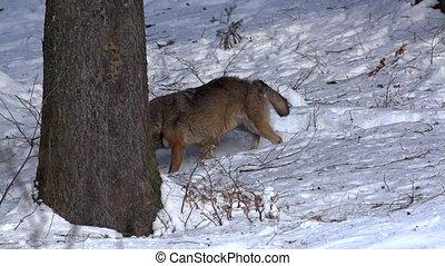волк, зима