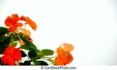 вращение, цветок, blossoms.