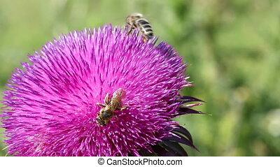 время года, bees, цветок, весна