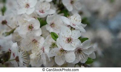 время, дерево, blooming, вишня, весна, сад