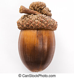 все еще, жизнь, of, acorn.