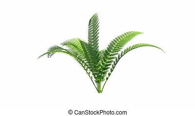 выращивание, альфа, канал, папоротник