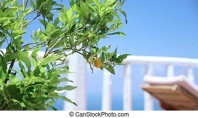 выращивание, зеленый, на открытом воздухе, лимон, дерево