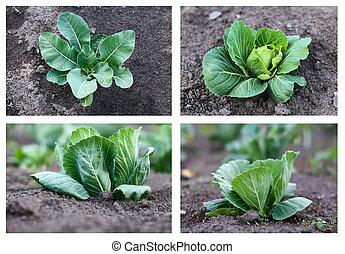 выращивание, капуста, коллекция