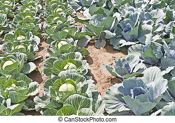 выращивание, листовая капуста