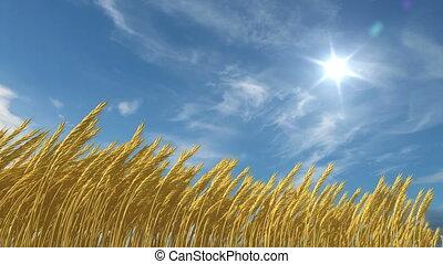 выращивание, пшеница