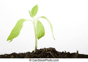 выращивание, растение, копия, пространство
