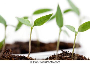 выращивание, чили