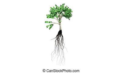 выращивание, 1, растение