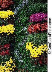 выращивание, chrysanthemums, сад, красочный