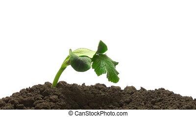 выращивание, time-lapse, трава, зеленый