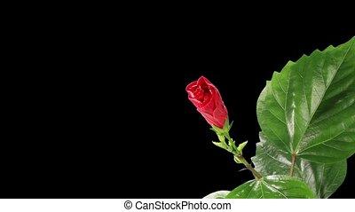 гибискус, цветок, красный, blooming