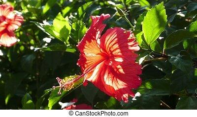 гибискус, цветок, крупным планом, красный