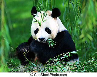 гигант, панда