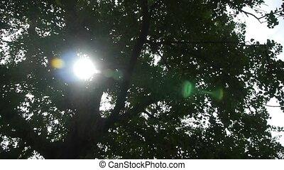 гинкго, через, солнечный лучик, дерево