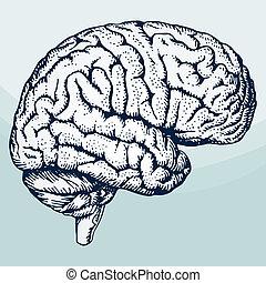 головной мозг, человек