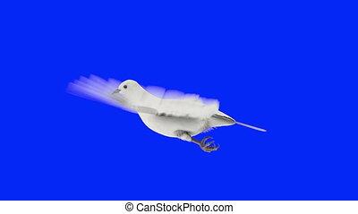 голубь, белый