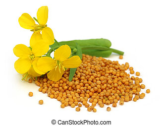 горчичный, цветок, with, seeds