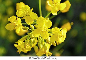 горчичный, цветы