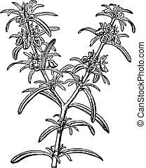 гравюра, марочный, rosmarinus, officinalis, розмари, или