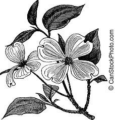 гравюра, cornus, марочный, флорида, кизил, цветение, или
