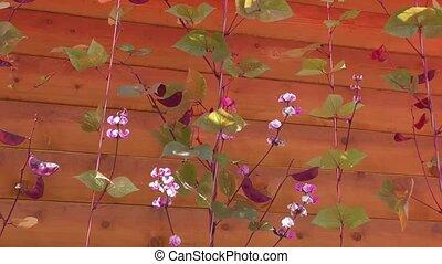 декоративный, цветы, фасоль, ветер, swinging