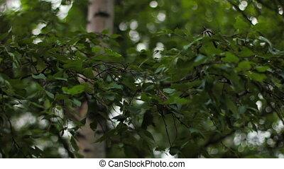 дерево, ветер, sways, береза