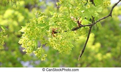 дерево, в, , весна