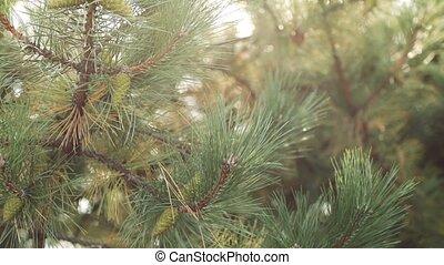 дерево, зеленый, молодой, конус, сосна, филиал