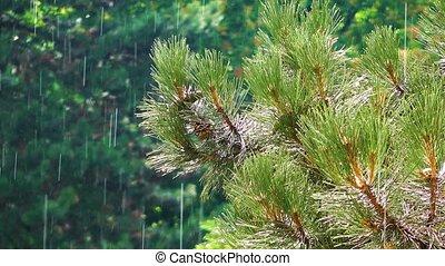 дерево, конус, дождь, сосна