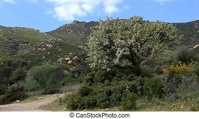 дерево, персик