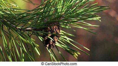 дерево, созревший, рождество, сосна, sunlight., cones, зима, филиал, concept., лес