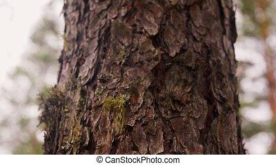 дерево, сосна, лай, хобот, леса