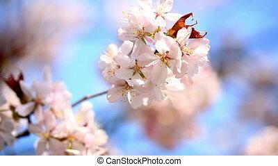 дерево, яблоко, blooming