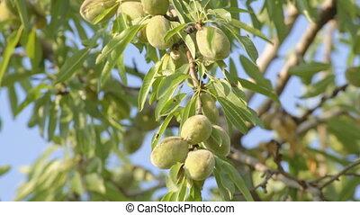 дерево, 1, 4, редактировать, незрелый, almonds