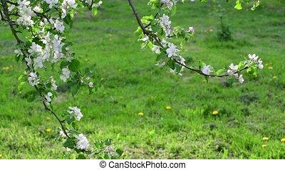 дерево, blossoming, ветви, яблоко