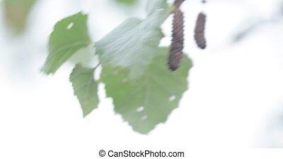дерево, leaves, береза, молодой