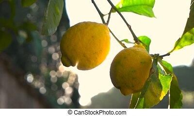 дерево, rays, лимон, солнце