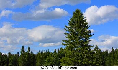 дерево, timelapse, clouds, хвойное дерево