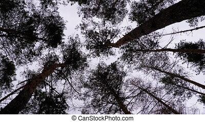 дерево, trunks, ветви, штормовой, forest., жутко, дно, против, темно, небо, посмотреть