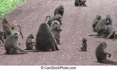 дикий, бабуин, африка, обезьяна