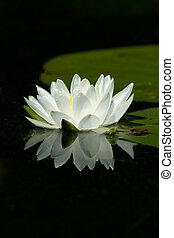дикий, белый, лили, подушечка, цветок, with, отражение, на,...