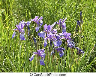 дикий, весна, flowers., irises.