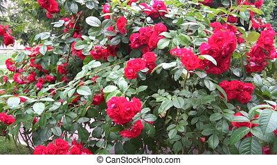 дикий, форма, roses, выращивание, цветы, арка