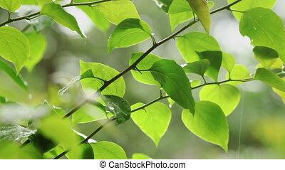 дождливый, зеленый, leafs