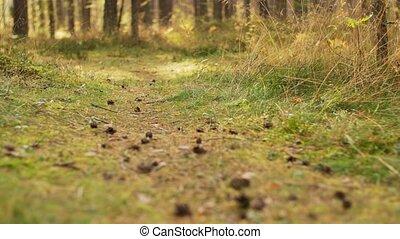 дорожка, осень, сосна, cones, лес