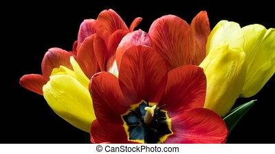 другой, tulips, букет, упущение, цвет, черный, задний план, время