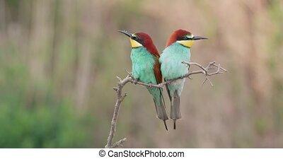 его, спаривание, прут, партнер, bee-eater, посадка, время года, следующий, европейская